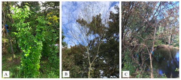 A representative Celtis sinensis plant for (A) metsulfuron-methyl at week four, (B) metsulfuron-methyl at week eight and (C) picloram at week fifteen.