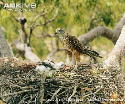 Image of Red goshawk