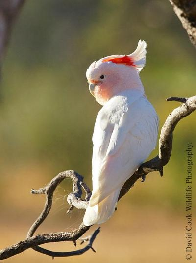 Image of Major Mitchell's cockatoo