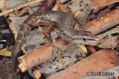 Image of Gully skink