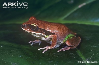 Image of Green thighed frog