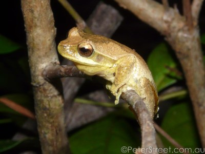 Image of Whirring tree frog
