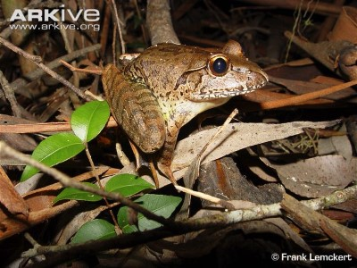 Image of Giant barred frog