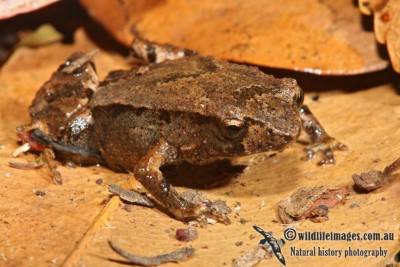 Image of  Pouched frog