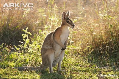 Image of bridled nailtail wallaby