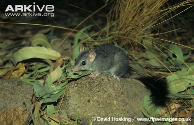 Image of Brush-tailed phascogale