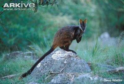 Image of Brushed-tailed Rock-wallaby