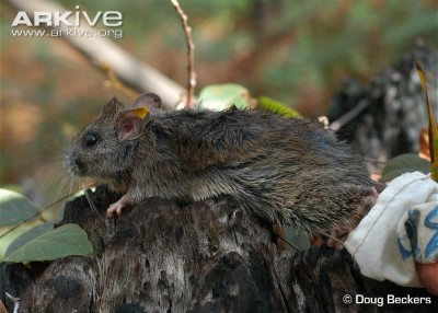 Image of Hastings River mouse