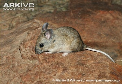 Image of Plains rat