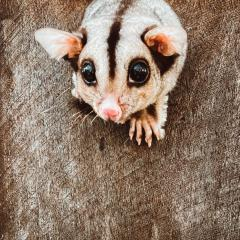 Pip the Mahogany Glider