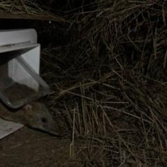 Bandicoot exiting a nestbox